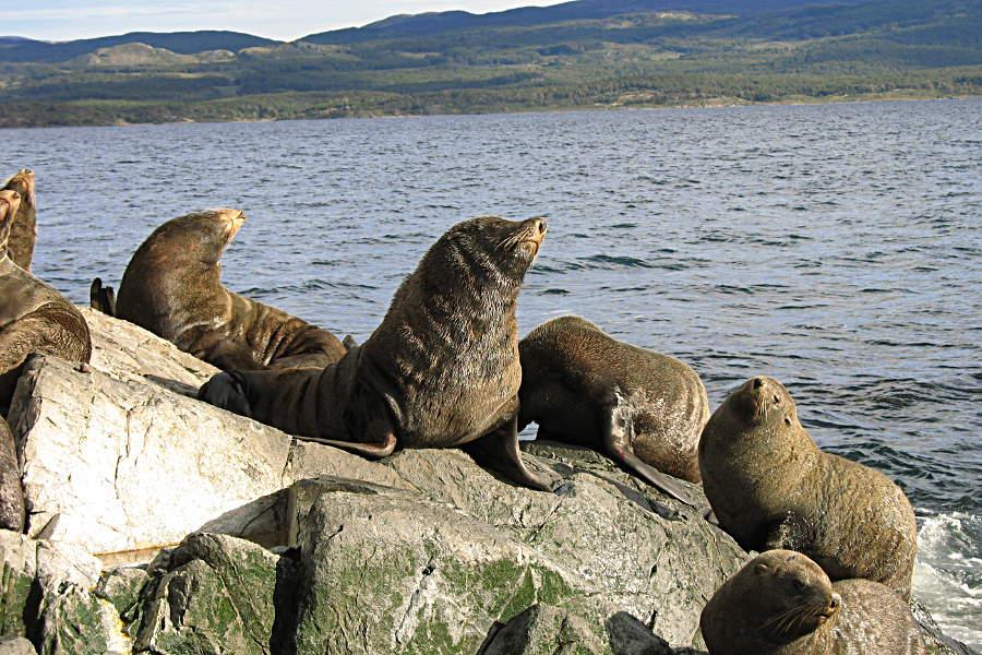 Seelöwenkolonie im Beagle Kanal