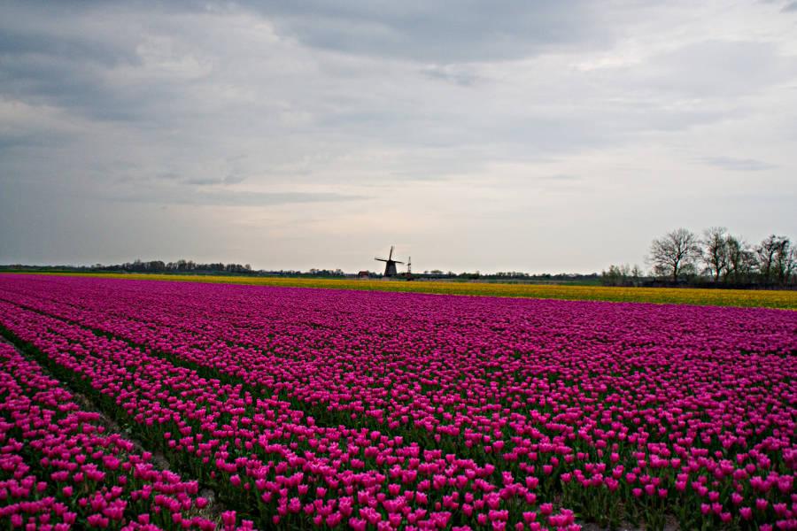 Tulpenfeld auf dem Weg nach Egmond