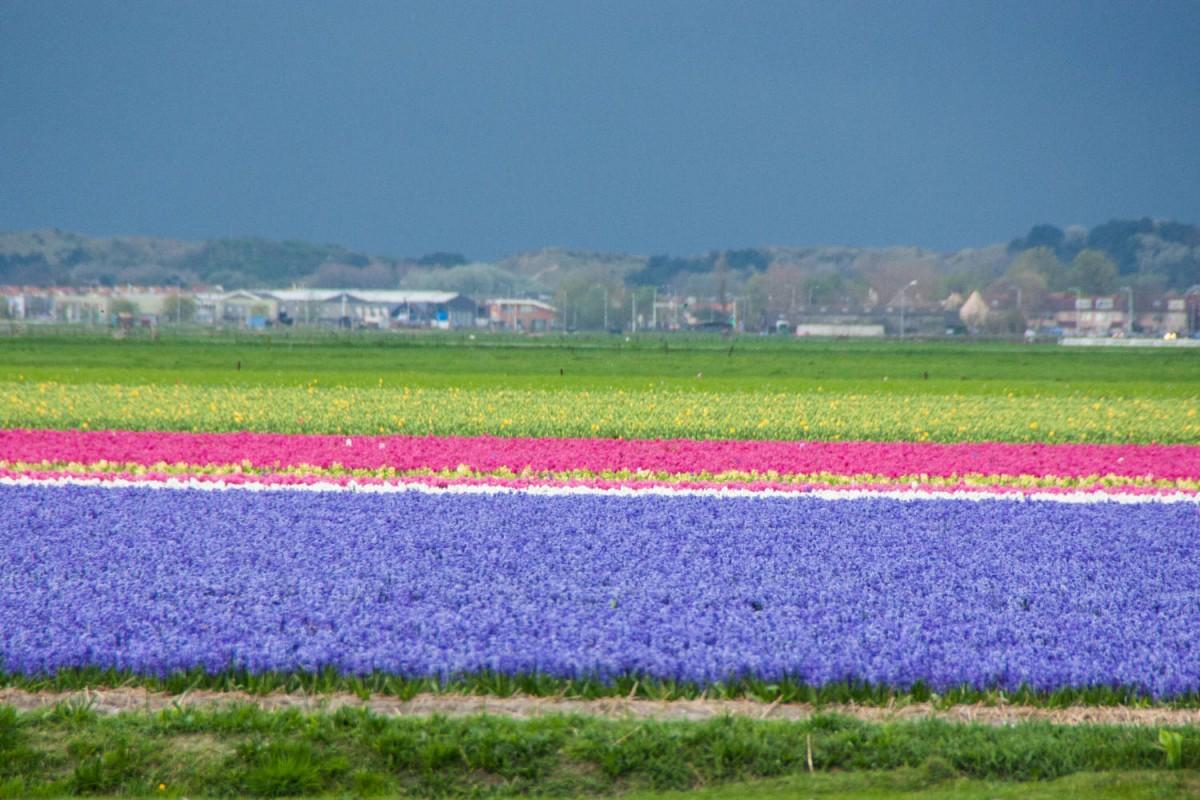 Tulpenfelder kurz vor einem heftigen Sturm