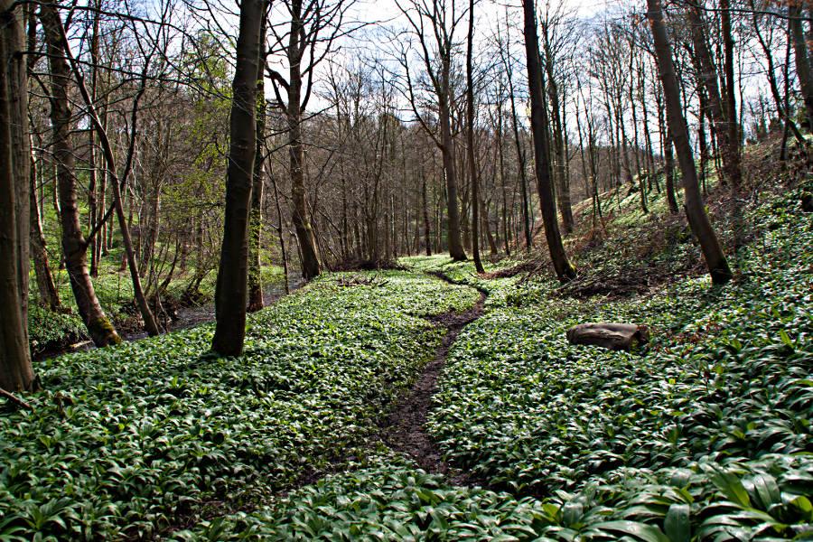 Ein Bärlauchteppich deckt den Wald rund um das Lumley Castle