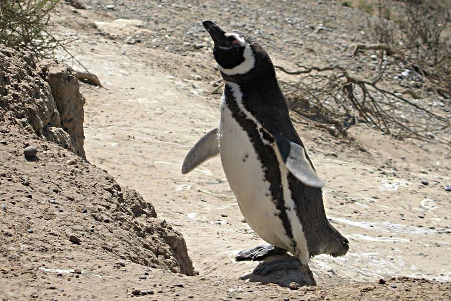 Ein Pinguin in Argentinien