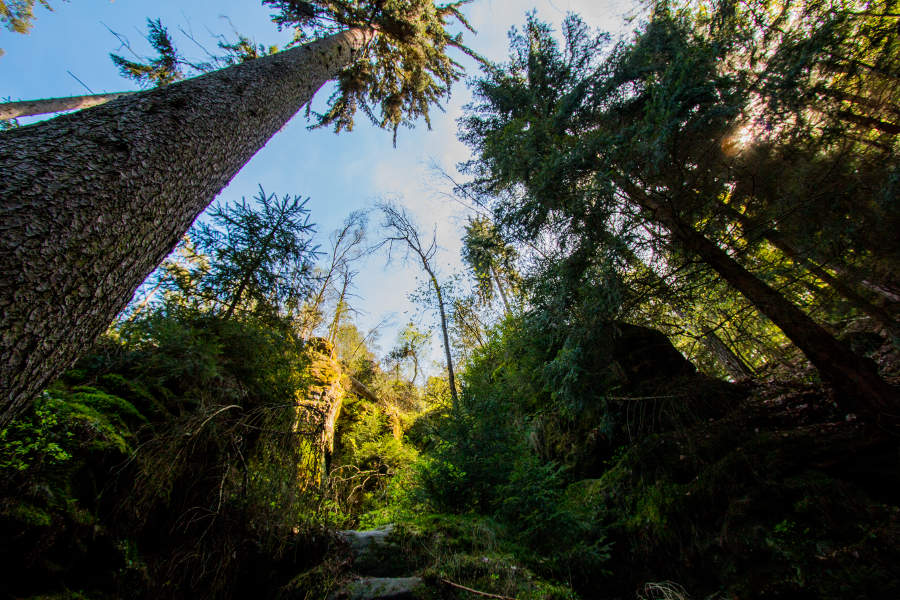 Bäume am Wanderweg unweit der Bastei im Elbsandsteingebirge