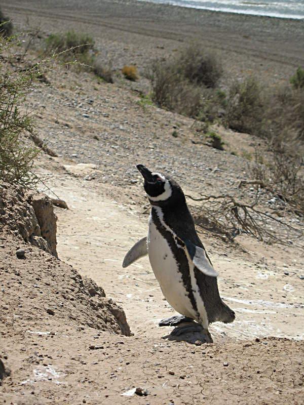 Mein neuer bester Freund - ein Pinguin posiert besonders schön fürs Foto auf der Pensinsula Valdes, Argentinien