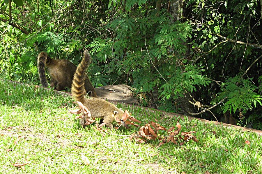 Nasenbären auf dem Weg zu den Wasserfällen von Iguazu