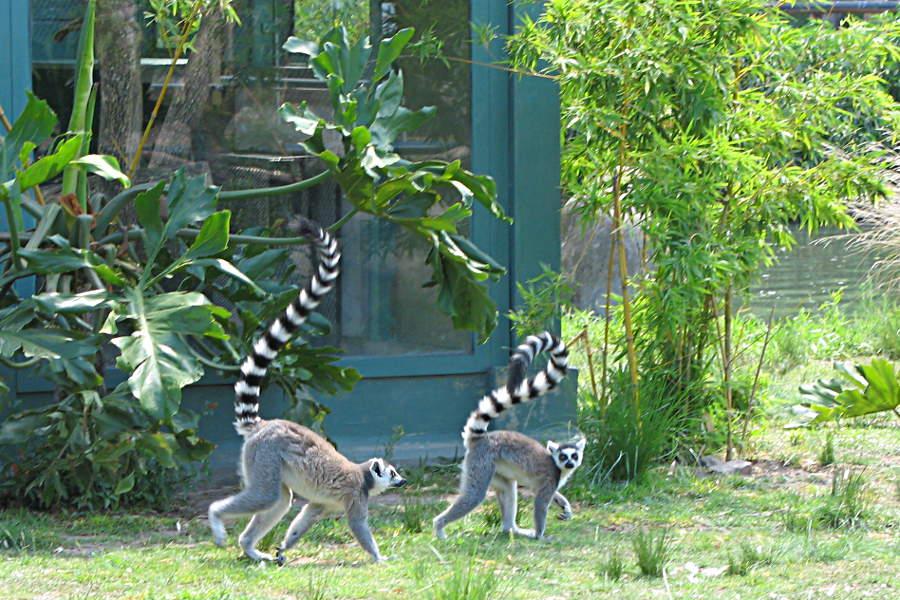 Lemuren im Zoo von Buenos Aires, Argentinien