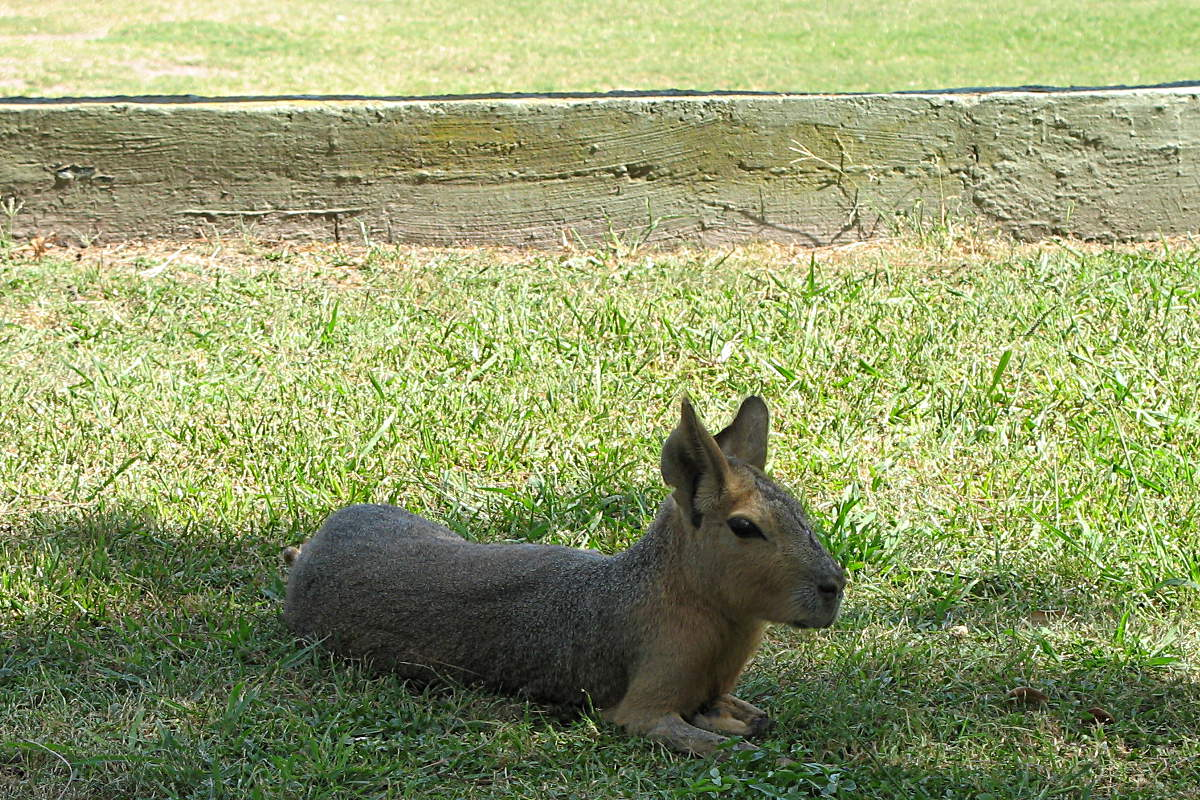 Ein Mara (Pampashase) im Zoo von Buenos Aires, Argentinien