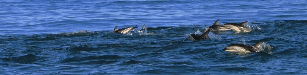 Gruppe von Delfinen vor Kaikoura, Neuseeland