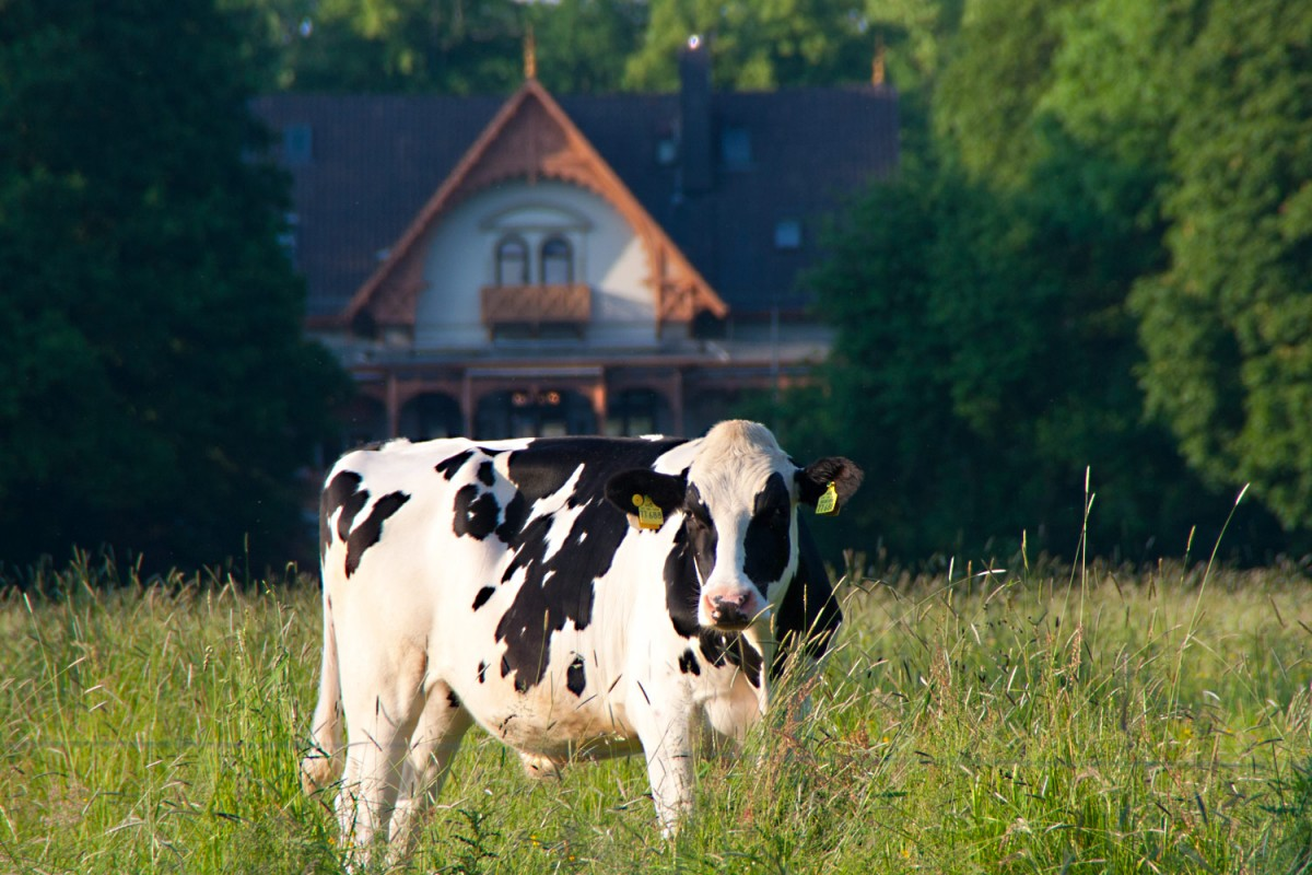 Im Bürgerpark Bremen, mitten in der Stadt, weiden Kühe.