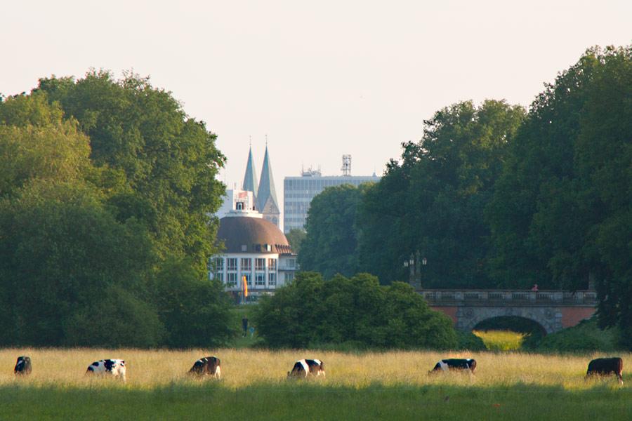 Weidende Kühe im Bürgerpark Bremen - mit Blick auf Park Hotel und Dom